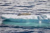 Antarctica - Seals On An Ice Floe — 图库照片