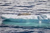 Antarctica - Seals On An Ice Floe — Foto de Stock