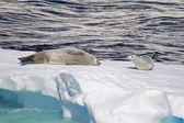 Antarctica - Seals On An Ice Floe — Stock Photo