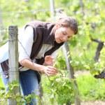 Woman winegrower working in vineyard — Stock Photo