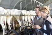 Farmers using tablet in milking barn — Stock Photo