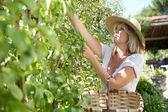Blond woman picking fruits from tree — Stock Photo