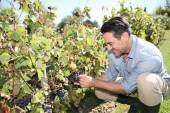 Man in vineyard checking on grapes — Stock Photo