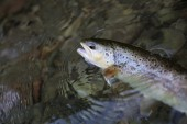 Fario trout being caught in river — Stock Photo