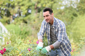 Man in botanic garden cutting roses — Stock Photo