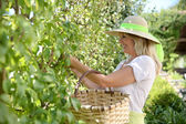 Blond woman picking fruits from tree — Stock fotografie