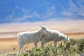 Goats grazing in Patagonian steppe — Stock Photo