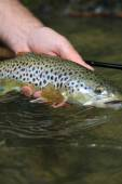 Brown trout caught by fisherman — Stock Photo
