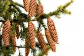 Fir-cone on a branch — Stock Photo