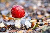 Fly amanita mushroom closeup. — Stock Photo