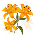 Flower Background With Three Beautiful Lilies. Vector. — Stock Vector