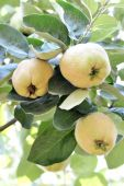 Quince tree growing in the garden — Stock Photo