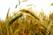 Golden ears on the summer field before harvest — Stock Photo