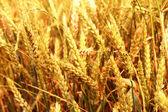 Orecchie d'oro sul campo estivo prima del raccolto — Foto Stock