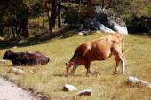 Cows and bulls laying on he summer meadow — Stock Photo