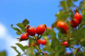 An Autumn red dog rose tree growing — Foto Stock