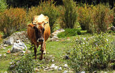 A cow standing on the summer meadow — Stock Photo