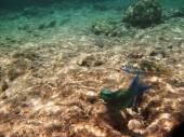 Tropical exotic fish underwater. The pseododax moluccanus — Stock Photo