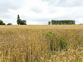 Scenic with field of ripe wheat in Normandy — Stock Photo