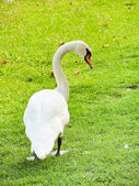 White mute swan on green lawn — Stock Photo