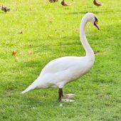 White mute swan on green meadow — Stock Photo