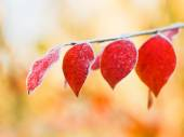 First frost on red leaves in autumn — Stock Photo