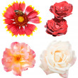 Set of rose and gaillardia flowers isolated — Stock Photo #57898795