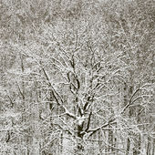 Snowbound oak in forest after winter snowfall — Stock Photo