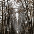 Larch alley with ski tracks in snowy forest — Stock Photo #62125515