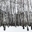 Snowy birchwood in cold winter day — Stock Photo #62125615