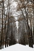 Larch alley with ski tracks in snowy forest — Stock Photo