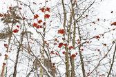 Frozen red rowan berry on tree — Stock Photo
