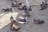 Many domestic ducks on poultry yard — Stock Photo