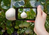 Tourist taking photo of bottle gourds on vine — Stock fotografie
