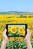 Tourist taking photo sunflower flowers — 图库照片