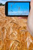 Tourist taking photo of ripe wheat field — Stock Photo