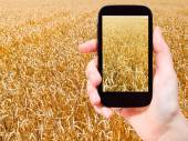 Tourist taking photo of ripe wheat field — Fotografia Stock