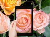 Tourist photographs of fresh wet pink rose close up — Stock Photo
