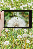Tourist photographs of dandelion blowball — Stock Photo