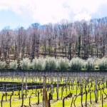 Empty vineyard in Etna winemaking area in spring — Stock Photo #70981663