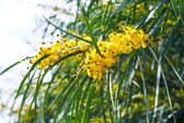 Yellow flowers of mimosa (acacia) tree close up — Stock Photo