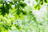 Green oak leaves in summer rainy day — Stock Photo