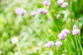 Pink flowers of chives herb on green summer meadow — Stock Photo