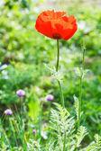 Red poppy flower on green meadow — Stock Photo