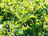 Bush of potato in field illuminated by sunlight — Stock Photo