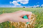 Hand deletes green wheat field by rubber eraser — Stock Photo