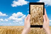 Tourist photographs ears of ripe wheat on field — Stock Photo