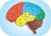 Vector  illustration of human brain — Stock Vector