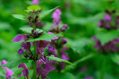 Plant with purple flowers — Stock Photo