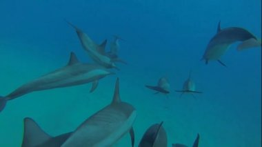 Dolphins with a scuba diver — Stock Video